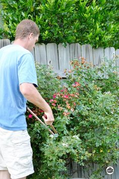 It's time for Summer Rose Pruning. Keep those shrub roses looking great with periodic pruning and fertilization throughout the growing season. Summer Garden, Lawn And Garden, Amazing Gardens, Beautiful Gardens, Knockout Roses, Planting Roses, Blooming Rose, Flowering Vines, Growing Herbs