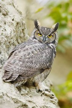 Image result for great horny owl