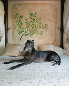 He is my Poldark, rescued greyhound from Ireland racing..... now he is safe and loved <3