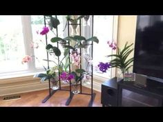 Phalaenopsis orchids in spike - full water culture - YouTube