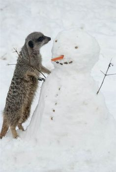 Meerkat at London Zoo checks out snowman I Love Snow, Snow Fun, Snow Sculptures, Animal Tracks, Frosty The Snowmen, Winter Beauty, Beautiful Creatures, Winter Wonderland, Cute Pictures