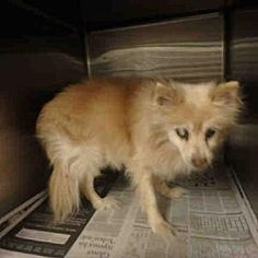 RIP Sweet baby Chatsworth, California - Pomeranian. Meet MINI, a for adoption. https://www.adoptapet.com/pet/20124928-chatsworth-california-pomeranian
