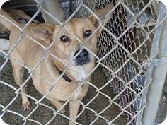 Doylestown, PA - Labrador Retriever Mix. Meet Nixie (formerly 'Gracie'), a dog for adoption. http://www.adoptapet.com/pet/13311341-doylestown-pennsylvania-labrador-retriever-mix