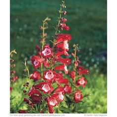Find out how to grow the best penstemons for your garden! It all starts with the right variety.