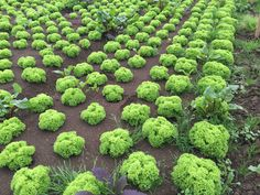 lettuce organic cultivation in greenhause
