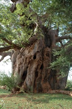 Baobab Tree.  Any way I can get this put in my yard???!!!!,