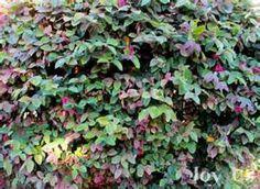 Loropetalum Razzleberry