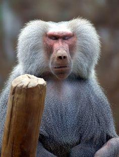 Everland hamadryas baboon monkey | Flickr - Photo Sharing!