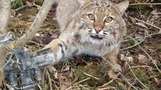Petition · Save bobcats from being slaughtered in Illinois. · Change.org - Please sign this petition to help these sweet and shy, beautiful animals.  PLEASE?