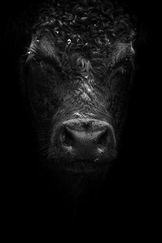 Black cow by XeroLp on deviantART Farm Animals, Animals And Pets, Cute Animals, Strange Animals, Black Cow, Black And White, Beautiful Creatures, Animals Beautiful, Cow Pictures