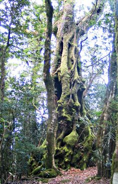 Antarctic Beech Tree - remnants of the days when Australia was part of Gondwanaland. (Thought closely related to the Beech but now are considered separate family) Grows in Australia's eastern highlands. Weird Trees, Tree Story, Magical Tree, Australian Plants, Giant Tree, Beech Tree, Unique Trees, Old Trees, Nature Tree