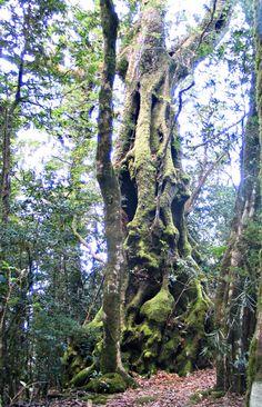 Antarctic Beech Tree - remnants of the days when Australia was part of Gondwanaland