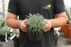 , An Attractive clump-forming evergreen perennial with flat, linear dark green fol. , An Attractive clump-forming evergreen perennial with flat, linear dark green foliage with a 'frosted' white margin. Excellent in coastal or city garde. Big Plants, Plant Nursery, Garden Care, Evergreen, Shrubs, Perennials, Backyard, Flat, Coastal