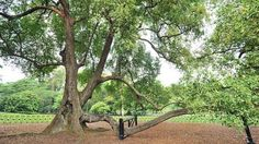 The Singapore Botanic Gardens' iconic Tembusu tree, which is over 200 years old, now has better support for its low-hanging branch. http://www.straitstimes.com/news/singapore/environment/story/botanic-gardens-iconic-tembusu-tree-gets-better-support-20140527 Photo: Lim Yaohui/The Straits Times