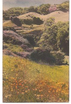 Poppies on California Hillside antique postcard