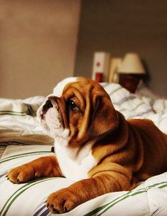 The major breeds of bulldogs are English bulldog, American bulldog, and French bulldog. The bulldog has a broad shoulder which matches with the head. Bulldog Puppies, Cute Puppies, Cute Dogs, Dogs And Puppies, Doggies, Puppies Tips, Cute Baby Animals, Animals And Pets, Funny Animals