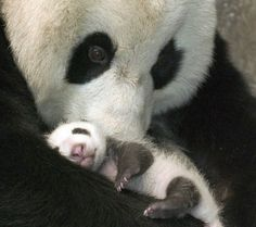 Panda love<3 omg so adorable I just want to hug both of them<3<3<3<3
