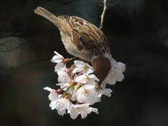 桜すずめ (Cherry Tree Sparrow)