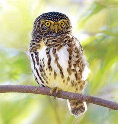 Collared Pygmy Owlet