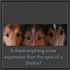 Sheltie Eyes ***The 1 on the far right...Laddie! :)