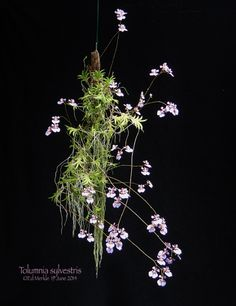 tolumnia orchid mounted