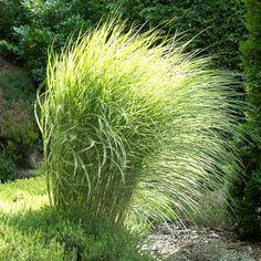 Maiden Grass 'Morning Light' for Sale Online – Greener Earth Nursery