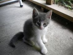 Jean Paul is an adoptable Chartreux Cat in Baton Rouge, LA. Jean Paul is a b lue and while Chartreaux mix. He is a very playful happy kitten. He adores people and will play until he can't keep his ey...