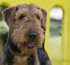 Airedales were our family dogs for so long, Hogan, Cooper, Arthur, Katie - and several litters!  Wonderful dogs . . . then we morphed into labs with one memorable English Springer named Edward