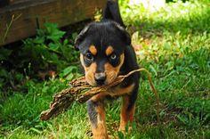 Part Rottweiler, Part Australian Shepherd and Part Bernese Mountain Dog! One adorable puppy named Summer