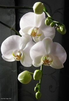orquideas blancas When we approached the Flores & Prats organization, we needed to focus on Exotic Plants, Exotic Flowers, Beautiful Flowers, Moth Orchid, Phalaenopsis Orchid, White Orchids, White Flowers, Orchids Painting, Growing Orchids