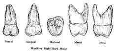 MOLARSupper Molar Tooth, Teeth, Ink, Memes, School Stuff, Third, Meme, Jokes, India Ink