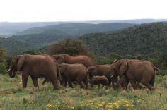 Elephants on the move. Elephant Walk, Cute Baby Elephant, Elephant Family, Types Of Animals, Cute Animals, Aggressive Animals, Elephants Never Forget, Gentle Giant, African Elephant