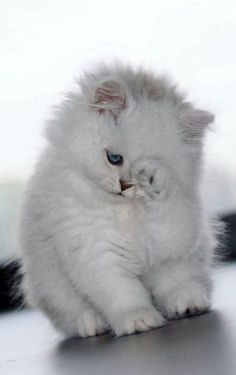 Cute cats and dogs videos cute kittens hissing Cute Baby Cats, Kittens And Puppies, Cute Little Animals, Cute Cats And Kittens, I Love Cats, Crazy Cats, Kittens Cutest, Fluffy Kittens, Persian Kittens