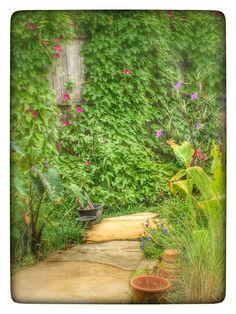 Morning Glory Vines on the walls of my backyard garden.