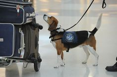 Hudson, a U.S. Customs and Border Protection beagle trained to find food, checks a traveler's luggage at the international arrivals area at Dulles International Airport. It's up to Customs and Border Protection officers, agricultural specialists, and fish and wildlife experts to keep out anything that could be a threat.