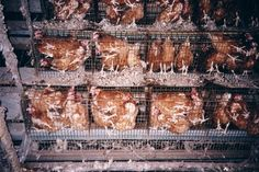 "Is chicken ""delicious"" enough to look past this cruelty?"