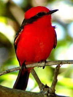 Diccionario sanjuanino: Fauna sanjuanina. Churrinche (Pyrocephalus rubinus)-Pájaro de unos 12 cm de largo. El                  Macho se destaca por su cabeza, cuello, pecho y vientre de color                  Rojo escarlata, con el dorso pardo. La hembra tiene el dorso de                  Color pardo ceniza y la parte ventral gris blanquecina jaspeada. Habita en terrenos arbustivos o en campos arbolados. Es insectívoro y anida en los árboles, preferentemente en