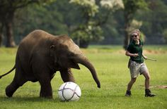 Elephant keeper Elizabeth Fellows plays football with Donna, a two-year-old elephant at Whipsnade Zoo near Dunstable, central England on May The elephants were playing with the ball as the zoo prepares to host a sporting extravaganza. Asian Elephant, Cute Elephant, Animals And Pets, Cute Animals, Wild Animals, Elephants Playing, Baby Elephants, Woodland Park Zoo, Elephant Quilt