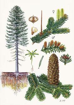 Jedle bělokorá (bílá) - Tipy do lesa - Vojenské lesy a statky dětem