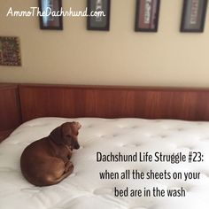 Dachshund Life Struggle #23 // The Struggle is Real // Ammo the Dachshund