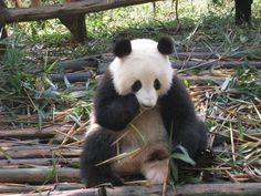Panda, China Hunan, 2010