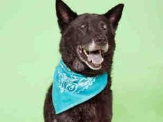 """""""PEPPER"""">>>PITTSBURGH, PA>>>PEPPER is an adoptable Labrador Retriever Dog in Pittsburgh, PA. Pepper is a little slow to warm up to new people, but once she knows you, she loves you. Pepper is an older girl so she needs a less ac..."""