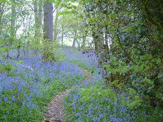 Bluebell   File:Bluebell Woods - geograph.org.uk - 356372.jpg - Wikipedia, the ...