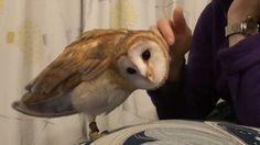 Barnyard Owl. http://ift.tt/2hgoQMd