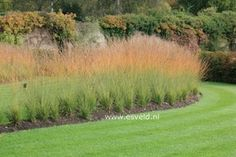 Pictures and description of Molinia caerulea Heidebraut Garden Pictures, Plant Pictures, Bog Garden, Garden Plants, Savill Garden, Ornamental Grasses, Garden Planning, Land Scape, Colorful Flowers