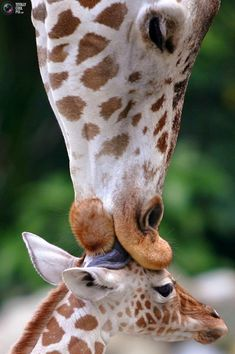 Giraffe kisses her baby - 19 Lovely Cute Animals Cute Baby Animals, Animals And Pets, Funny Animals, Wild Animals, Animals And Their Babies, Animals Kissing, Smiling Animals, Beautiful Creatures, Animals Beautiful