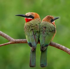 White-fronted Bee Eaters  ♥ ♥ www.paintingyouwithwords.com