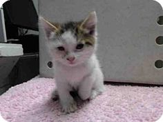 Gardena, CA - Domestic Mediumhair. Meet A4831474, a kitten for adoption. http://www.adoptapet.com/pet/13026120-gardena-california-kitten