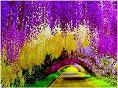 Tuneles de wisterias Japon