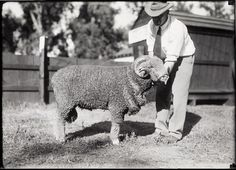 Sheep--Animal Husbandry [Ram]. 1927. UHPC, University Archive, Archives and Special Collections, CSU, Fort Collins, CO